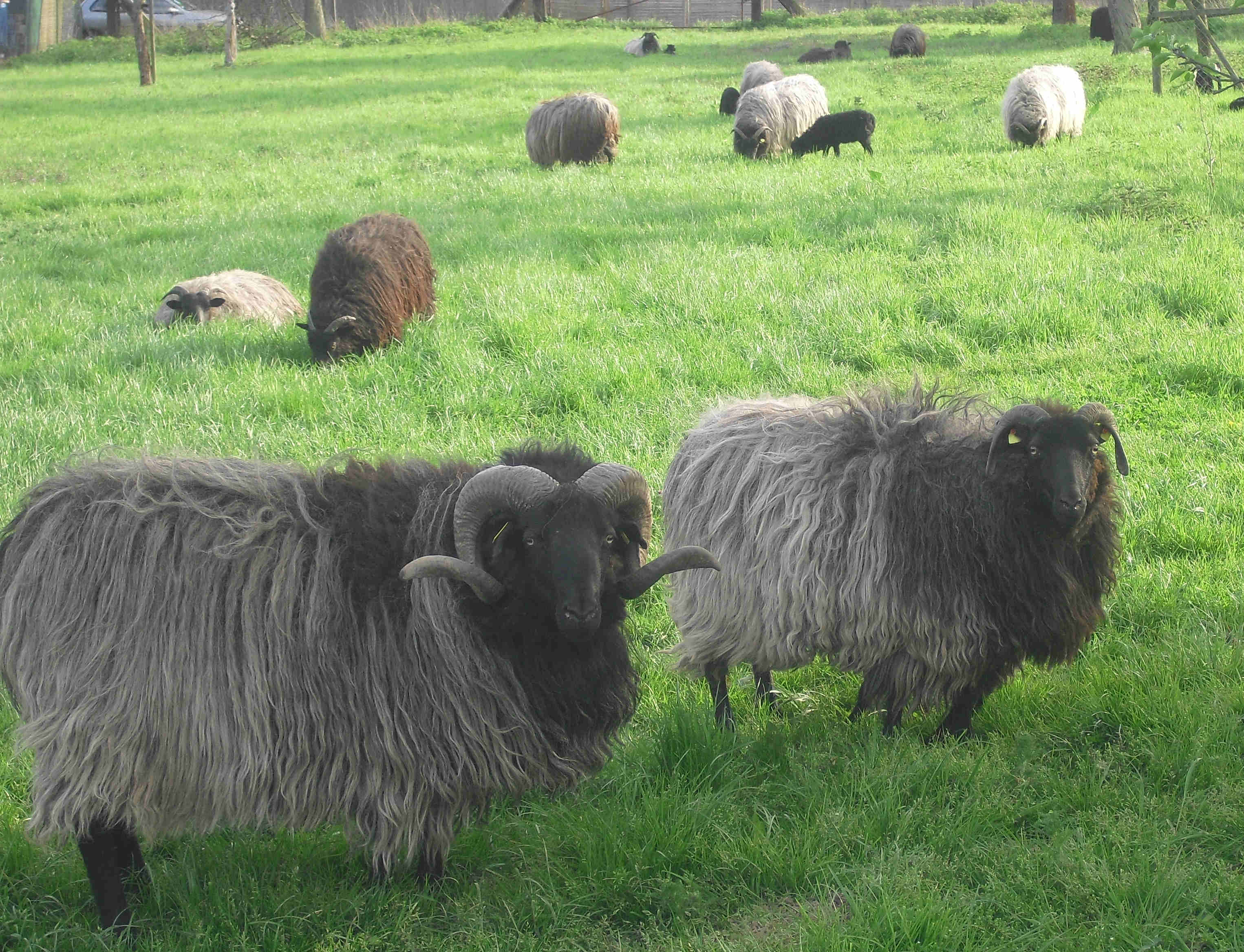 Die Heidschnucken pflegen unsere Gänsewiese