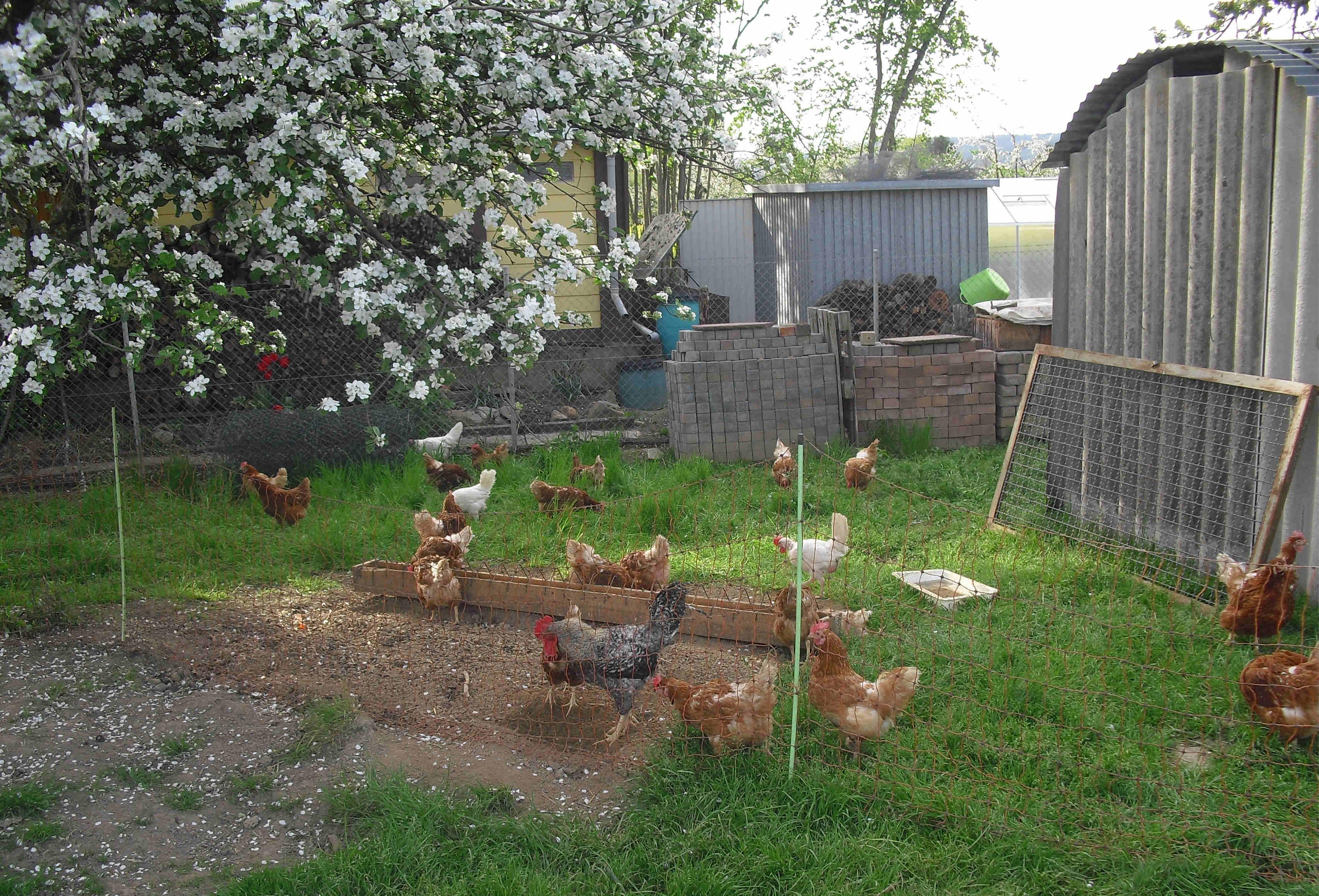 Die Hühner stehen bereit, die Freilauf-Weisen mit den Gänsen zu teilen