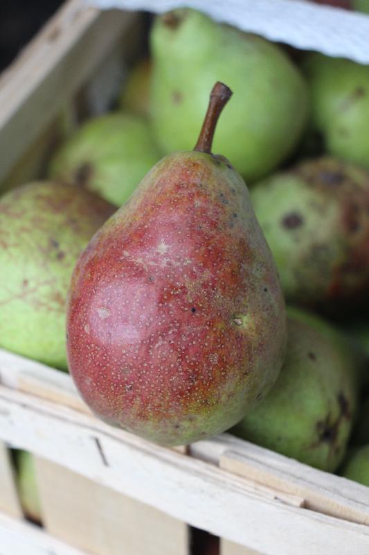 Frisch geerntete Birnen von Bauer Burkard's Birnenbaum